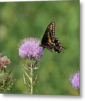 Metal Print featuring the photograph Black Swallowtail Butterfly by Sandy Keeton