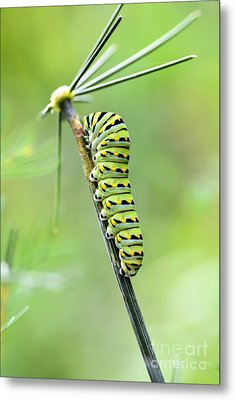 Black Swallowtail Caterpillar Metal Print by Debbie Green