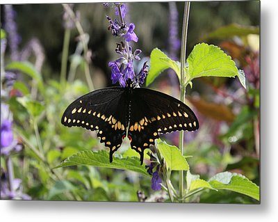 Black Swallowtail Metal Print