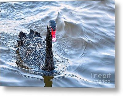 Black Swan 3 Metal Print by Kaye Menner