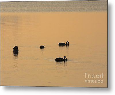 Black Swan Dawn Metal Print by Mike Dawson