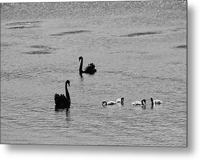 Black Swans, Tasmania 2015 Metal Print