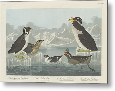 Black-throated Guillemot And Nobbed-billed Auk And Curled-crested Auk And Horned-billed Guillemot Metal Print by Rob Dreyer
