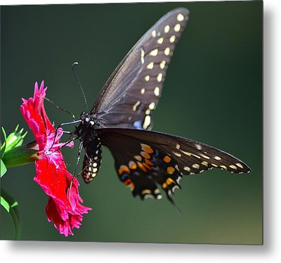 Black Tiger Swallowtail Metal Print by Kathy Eickenberg
