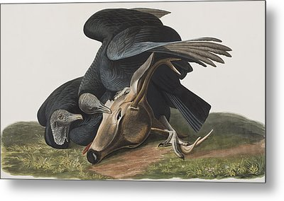 Black Vulture Or Carrion Crow Metal Print by John James Audubon