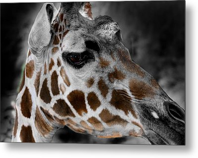 Black  White And Color Giraffe Metal Print by Anthony Jones