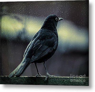 Blackbird Metal Print by Adrian Evans