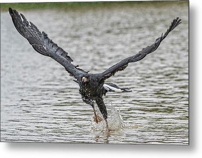 Metal Print featuring the photograph Blackhawk Fishing #2 by Wade Aiken