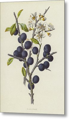 Blackthorn Metal Print by Frederick Edward Hulme