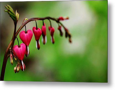 Metal Print featuring the photograph Bleeding Hearts Flower Of Romance by Debbie Oppermann