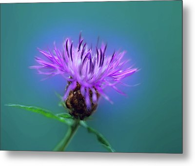 Cornflower. Metal Print by Daniel Furon