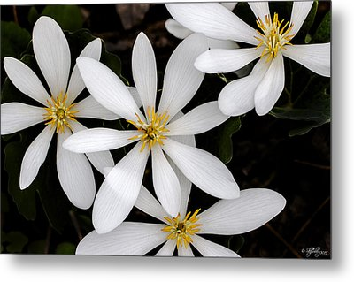 Metal Print featuring the photograph Sanguinaria by Skip Tribby