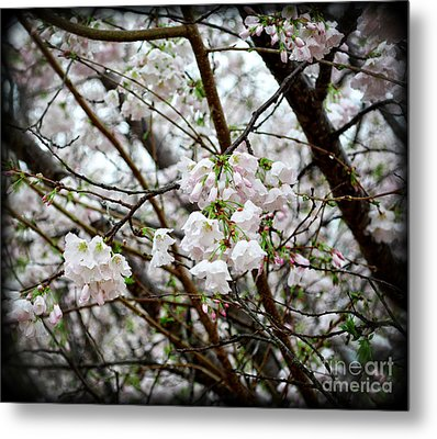 Blooming Apple Blossoms Metal Print