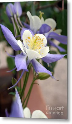 Metal Print featuring the photograph Blooming Columbine by Andrew Serff