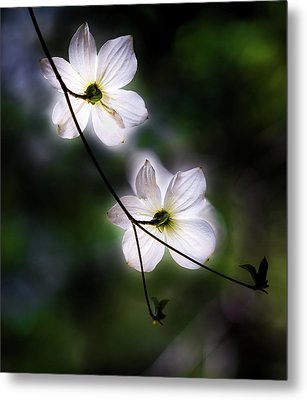 Blooming Dogwoods In Yosemite 2 Metal Print by Larry Marshall