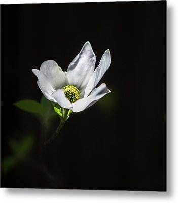Blooming Dogwoods In Yosemite 3 Metal Print by Larry Marshall