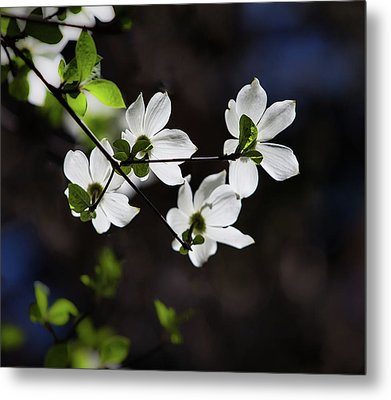 Blooming Dogwoods In Yosemite 4 Metal Print by Larry Marshall