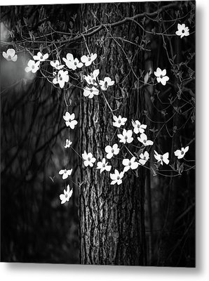 Blooming Dogwoods In Yosemite Black And White Metal Print by Larry Marshall