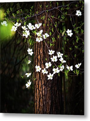 Blooming Dogwoods In Yosemite Metal Print by Larry Marshall
