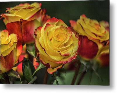 Oh My God It's Another  Rose Image Metal Print by Betsy Knapp