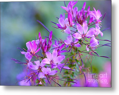 Metal Print featuring the photograph Blooming Phlox by Alana Ranney