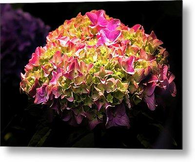 Blooming Pink Hydrangea Metal Print by Onyonet  Photo Studios