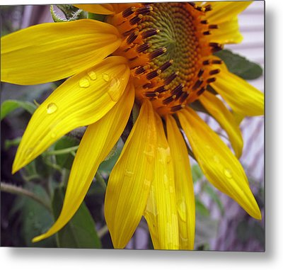 Blooming Sunflower Metal Print by Barbara McDevitt