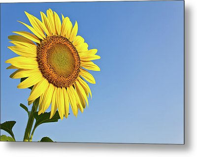 Blooming Sunflower In The Blue Sky Background Metal Print