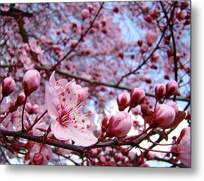 Blossoms Art Blue Sky Spring Tree Blossoms Pink Giclee Baslee Troutman Metal Print by Baslee Troutman
