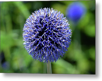 Metal Print featuring the photograph Blue Allium by Terence Davis