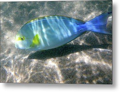 Blue And Yellow Hawaiian Reef Fish Metal Print by Erika Swartzkopf