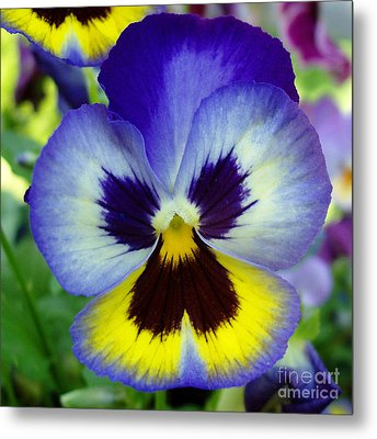 Blue And Yellow Pansy Metal Print by Nancy Mueller