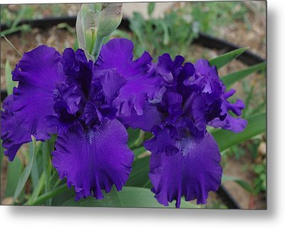 Blue Bearded Irises Metal Print by Robyn Stacey
