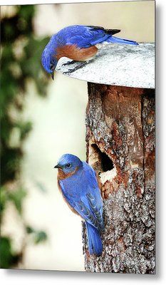 Blue Birds Are Moving In Metal Print