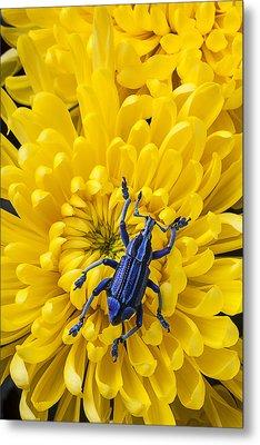 Blue Bug On Yellow Mum Metal Print by Garry Gay