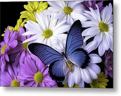 Blue Butterfly On Mixed Mums Metal Print by Garry Gay