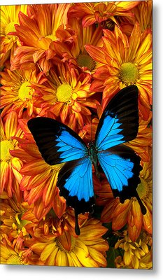 Blue Butterfly On Mums Metal Print by Garry Gay