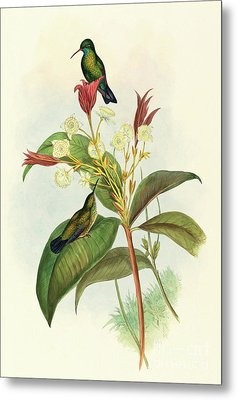Blue Chinned Sapphire Metal Print by John Gould