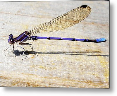 Metal Print featuring the photograph Blue Damselfly by Margie Avellino