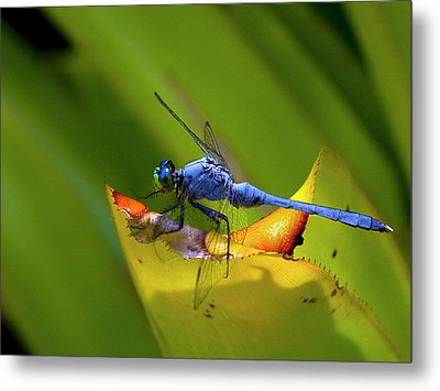 Blue Dasher Dragonfly Metal Print by Sandra Anderson