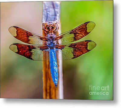 Blue Dragonfly Metal Print by Robert Bales
