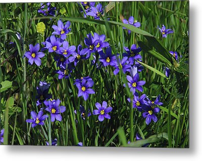 Blue Eyed Grass Metal Print by Robyn Stacey