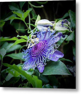 Blue Eyed Susan Passion Flower Metal Print by Phyllis Taylor