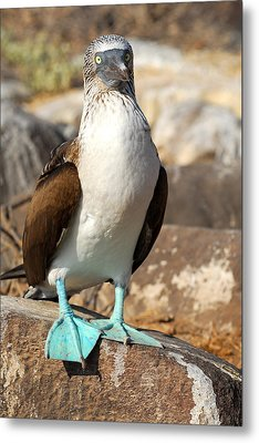 Blue-footed Booby Metal Print by Alan Lenk