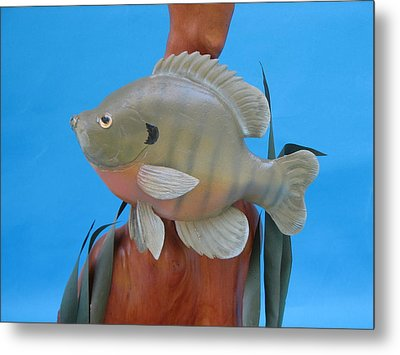 Blue Gill Metal Print by Jack Murphy
