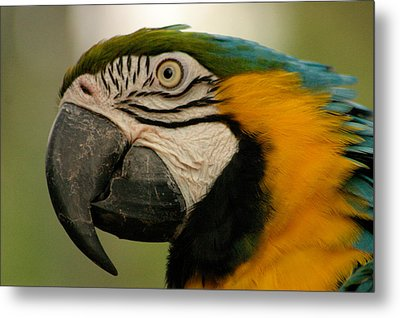 Blue Gold Macaw South America Metal Print by Ralph A  Ledergerber-Photography