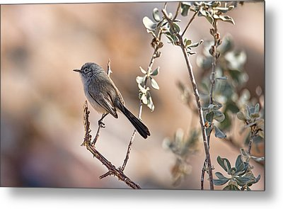 Metal Print featuring the photograph Black-tailed Gnatcatcher by Dan McManus