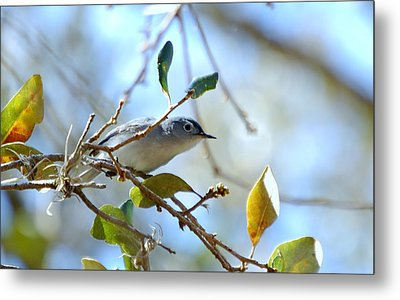 Blue Grey Gnatcatcher Metal Print by Steven Scott