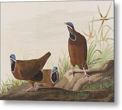 Blue Headed Pigeon Metal Print
