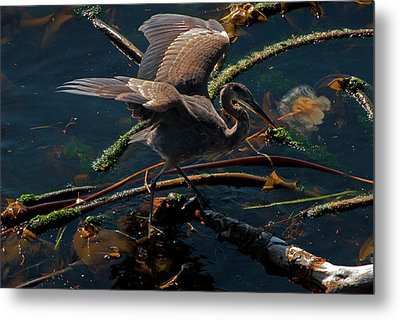 Blue Heron Fishing Metal Print